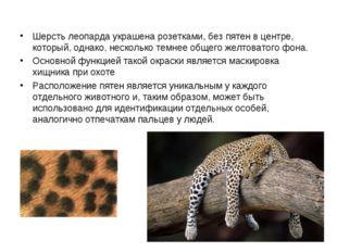 Шерсть леопарда украшена розетками, без пятен в центре, который, однако, нес