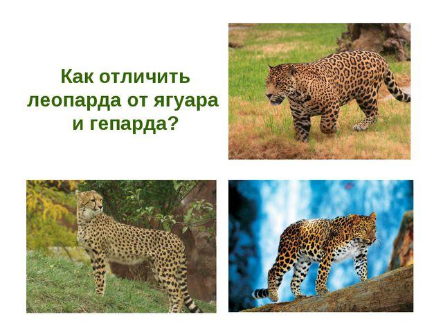 Как отличить леопарда от ягуара и гепарда?