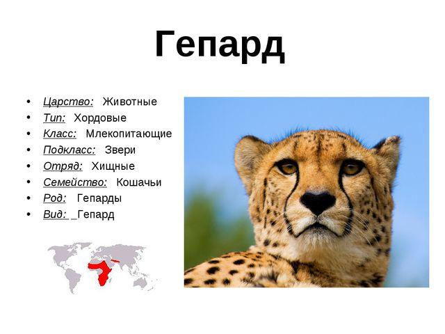 Гепард Царство: Животные Тип:  Хордовые Класс: Млекопитающие Подкласс: Звери...