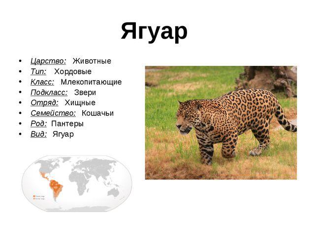 Ягуар Царство: Животные Тип:  Хордовые Класс: Млекопитающие Подкласс: Звери...