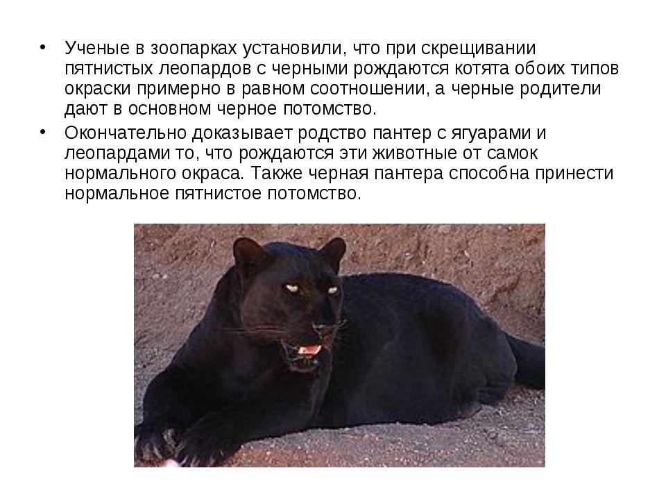 Ученые в зоопарках установили, что при скрещивании пятнистых леопардов с чер...