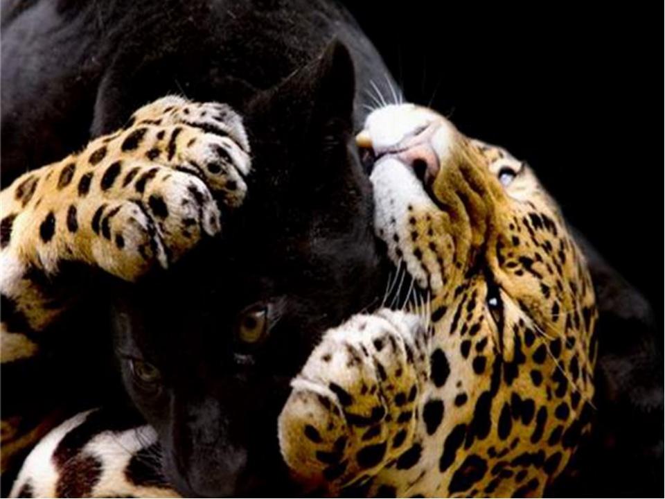 Картинки леопарды любовь, доброе