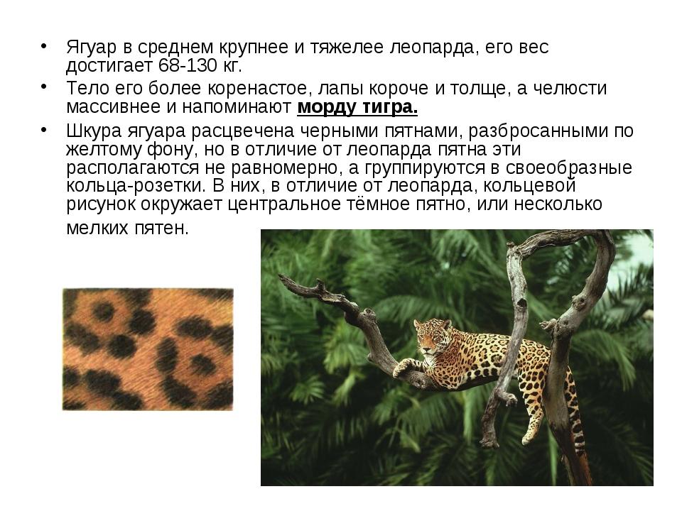 Ягуар в среднем крупнее и тяжелее леопарда, его вес достигает 68-130 кг. Тел...