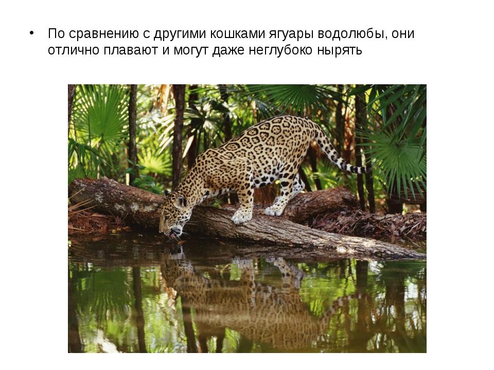 По сравнению с другими кошками ягуары водолюбы, они отлично плавают и могут...
