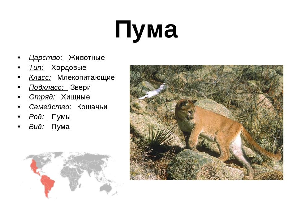 Пума Царство: Животные Тип:  Хордовые Класс: Млекопитающие Подкласс: Звери О...