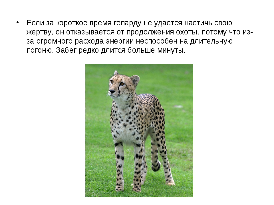 Если за короткое время гепарду не удаётся настичь свою жертву, он отказывает...