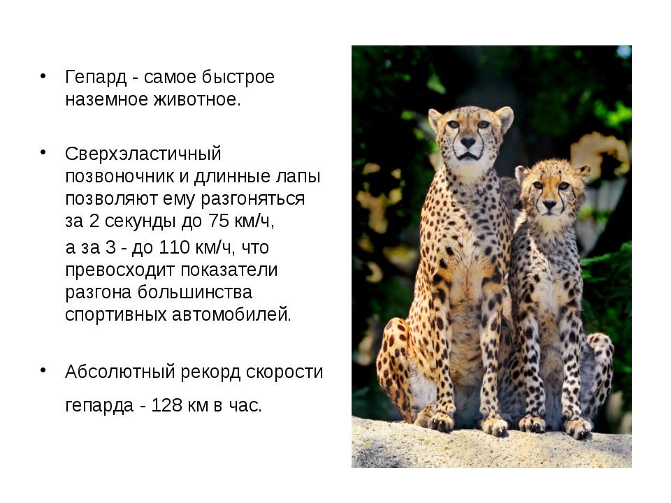Гепард - самое быстрое наземное животное. Сверхэластичный позвоночник и длин...