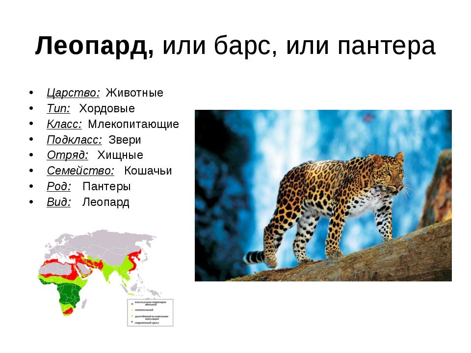 Леопард, или барс, или пантера Царство: Животные Тип:  Хордовые Класс: Млеко...