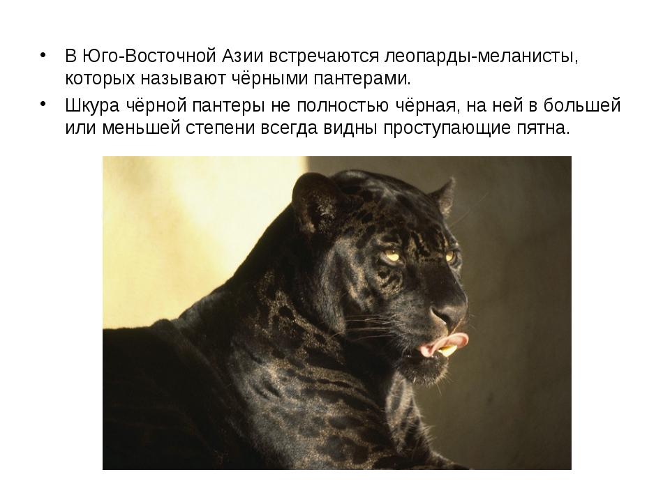 В Юго-Восточной Азии встречаются леопарды-меланисты, которых называют чёрным...