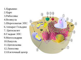1.Ядрышко 2.Ядро 3.Рибосомы 4.Везикула 5.Шероховатая ЭПС 6.Аппарат Гольджи 7.