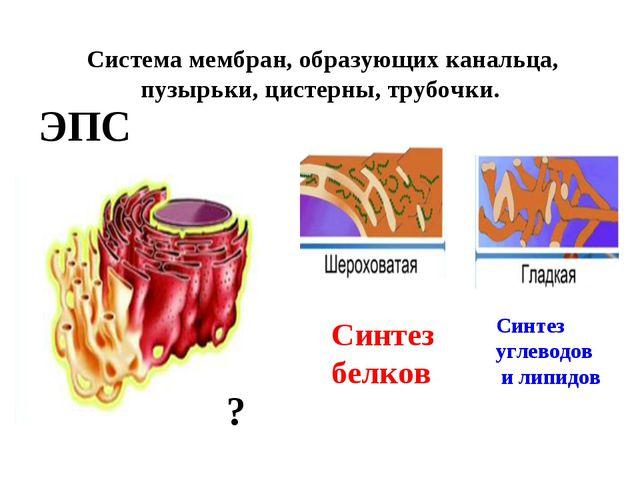 Система мембран, образующих канальца, пузырьки, цистерны, трубочки. ЭПС Синт...