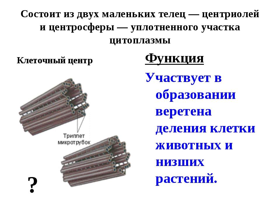 Состоит из двух маленьких телец — центриолей и центросферы — уплотненного уча...