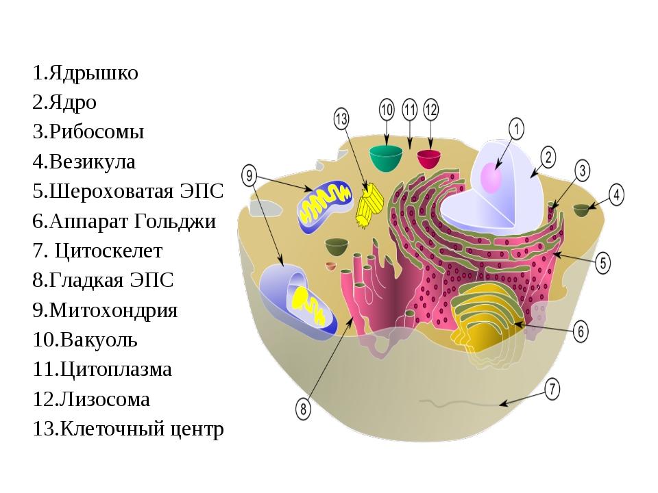 1.Ядрышко 2.Ядро 3.Рибосомы 4.Везикула 5.Шероховатая ЭПС 6.Аппарат Гольджи 7....