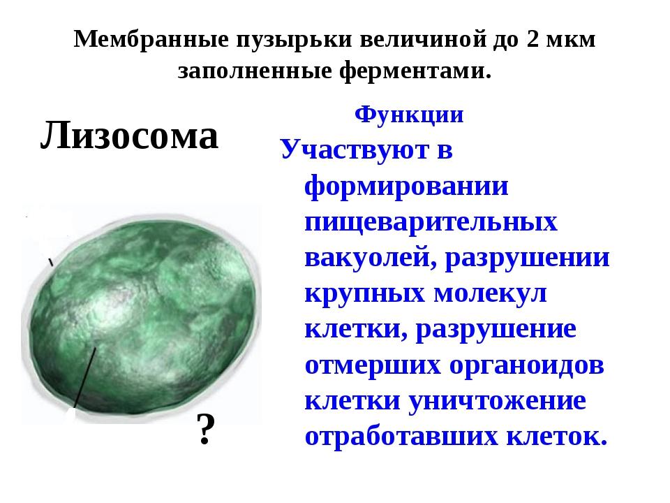Мембранные пузырьки величиной до 2 мкм заполненные ферментами. Функции Участ...