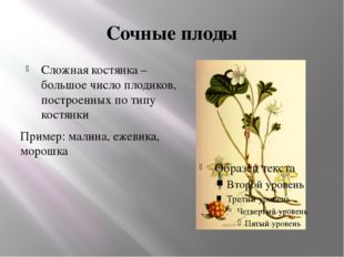 Сочные плоды Сложная костянка – большое число плодиков, построенных по типу к