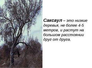 Саксаул – это низкие деревья, не более 4-5 метров, и растут на большом рассто