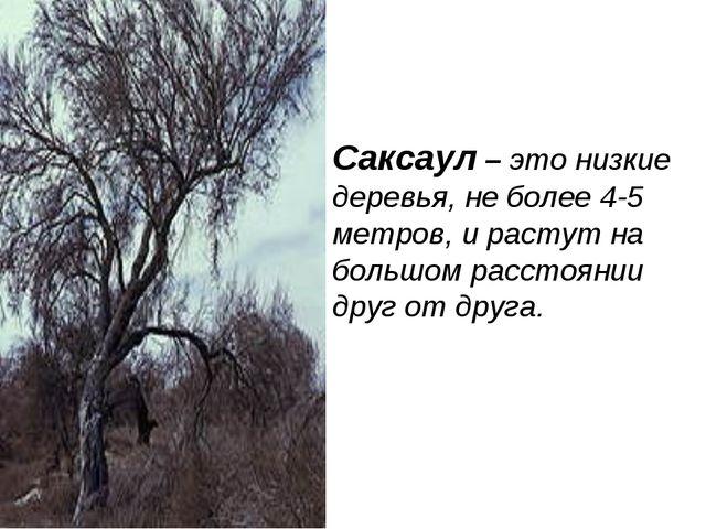 Саксаул – это низкие деревья, не более 4-5 метров, и растут на большом рассто...