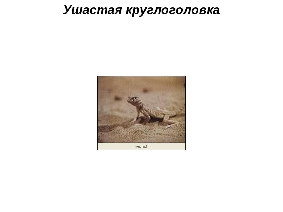 Ушастая круглоголовка