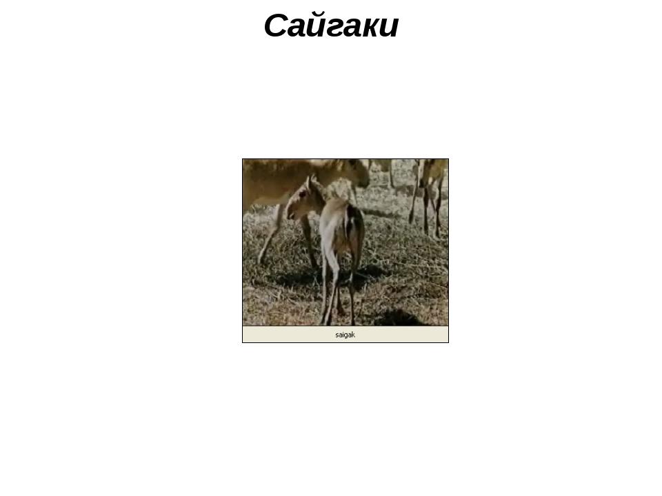 Сайгаки