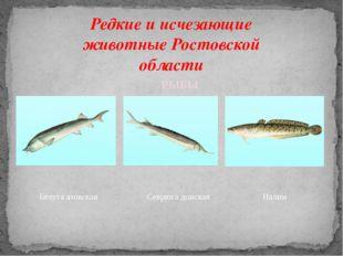 Редкие и исчезающие животные Ростовской области Белуга азовская Севрюга донск