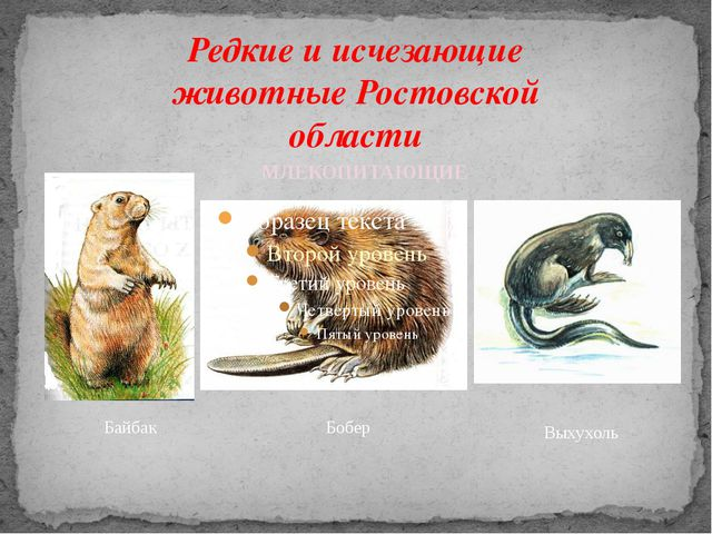 Редкие и исчезающие животные Ростовской области Байбак Бобер МЛЕКОПИТАЮЩИЕ Вы...