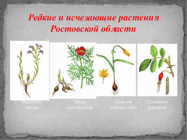 Редкие и исчезающие растения Ростовской области Медуница мягкая Пион узколист...