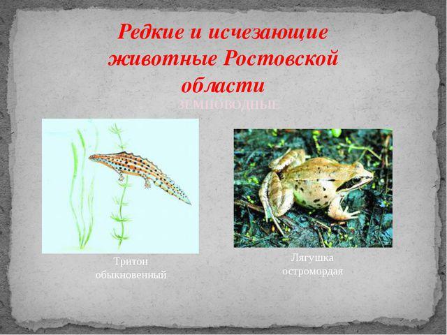 Редкие и исчезающие животные Ростовской области Тритон обыкновенный ЗЕМНОВОДН...