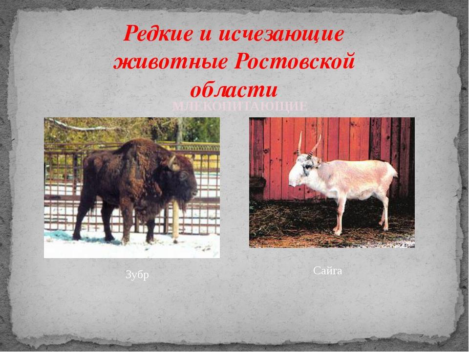 Редкие и исчезающие животные Ростовской области Зубр МЛЕКОПИТАЮЩИЕ Сайга