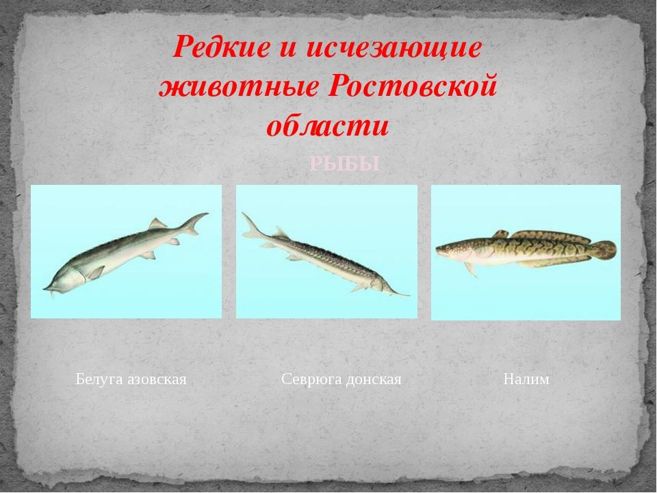 Редкие и исчезающие животные Ростовской области Белуга азовская Севрюга донск...