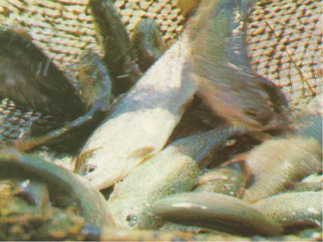 Дары рукотворного моря - донская рыба
