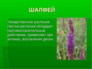 ШАЛФЕЙ Лекарственное растение. Листья растения обладают противоспалительным