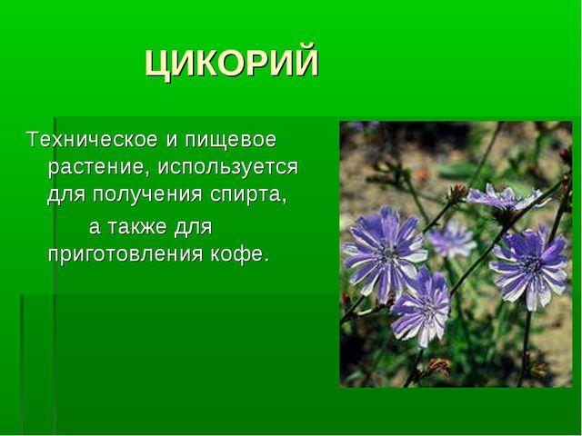 ЦИКОРИЙ Техническое и пищевое растение, используется для получения спирта, а...