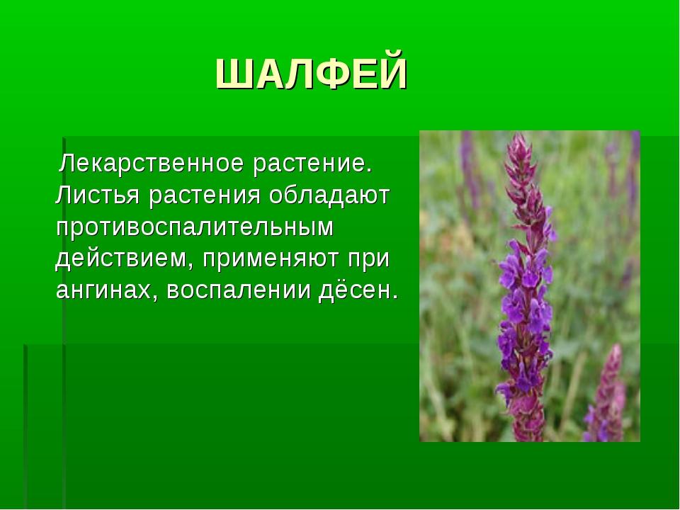 ШАЛФЕЙ Лекарственное растение. Листья растения обладают противоспалительным...