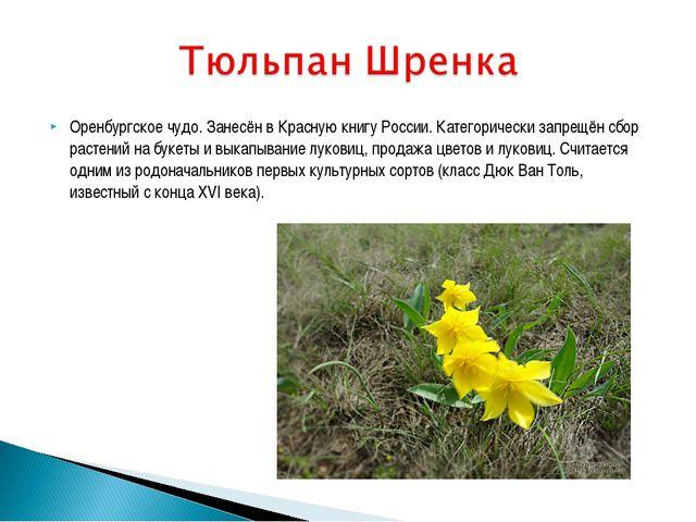 Оренбургское чудо. Занесён в Красную книгу России. Категорически запрещён сбо...