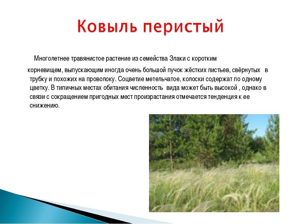 Многолетнее травянистоерастение из семейства Злаки с коротким корневищем, в...