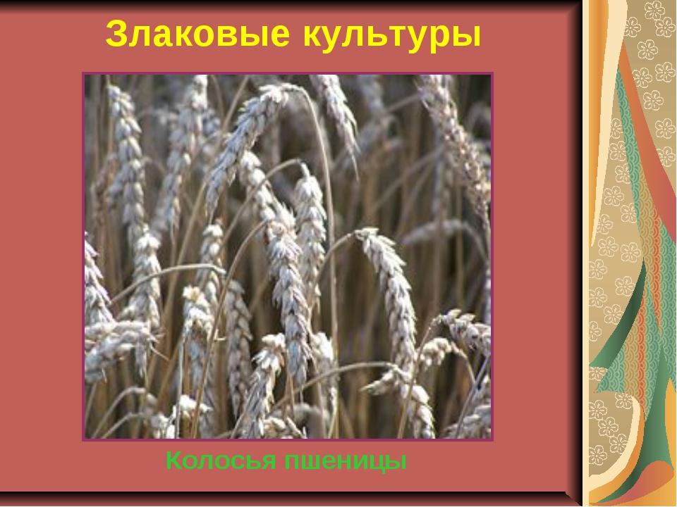 Злаковые культуры Колосья пшеницы