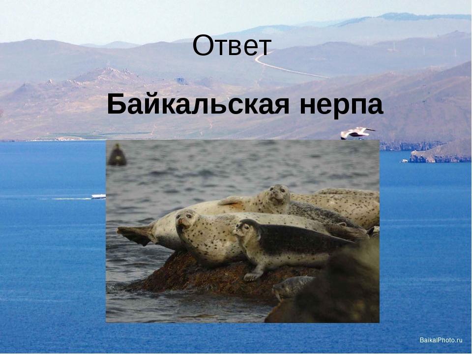 Ответ Байкальская нерпа