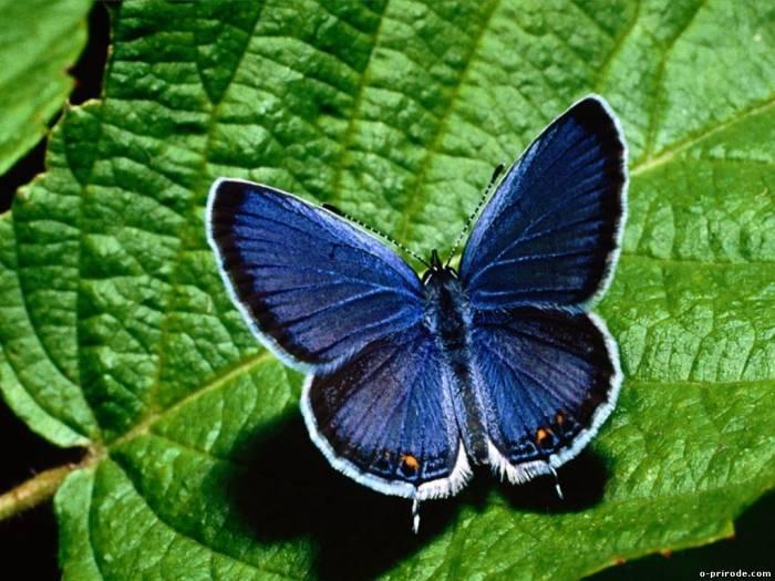 Красивая синяя бабочка на зелёном листе