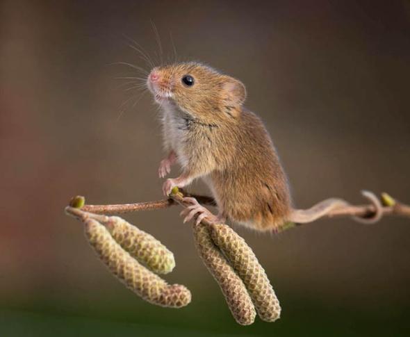 Фотографии полевых мышей.