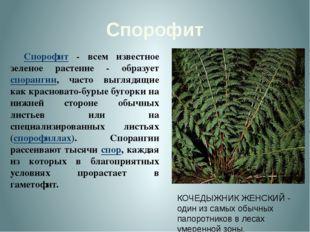 Спорофит Спорофит - всем известное зеленое растение - образует спорангии, ча