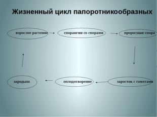 Жизненный цикл папоротникообразных взрослое растение спорангии со спорами пр