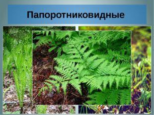 Папоротниковидные 1. Большинство видов папоротников, произрастающих в умерен