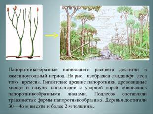 Папоротникообразные наивысшего расцвета достигли в каменноугольный период. На