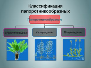 Классификация папоротникообразных Папоротникообразные Папоротниковидные Хвощ