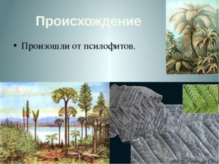 Происхождение Произошли от псилофитов.