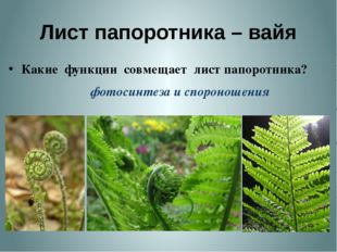 Лист папоротника – вайя Какие функции совмещает лист папоротника? фотосинтеза