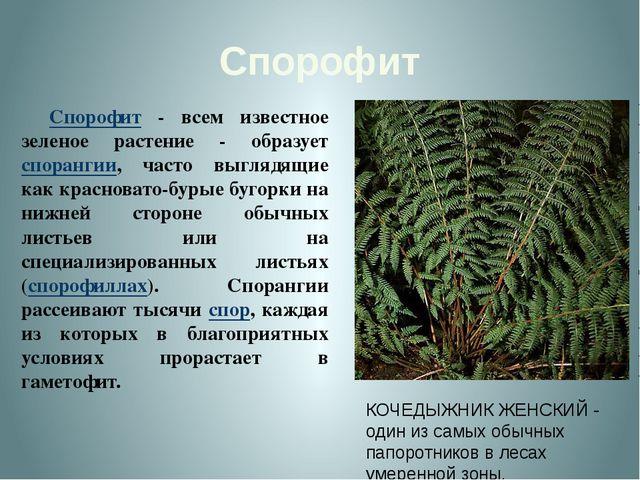 Спорофит Спорофит - всем известное зеленое растение - образует спорангии, ча...