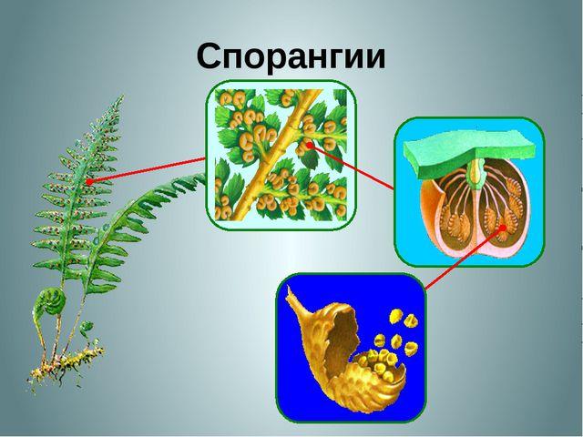 Спорангии На нижней стороне листе папоротника развиваются сорусы. Сорусы выг...