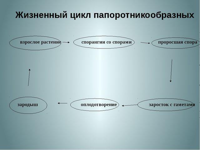 Жизненный цикл папоротникообразных взрослое растение спорангии со спорами пр...