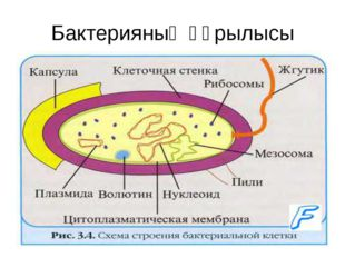 Бактерияның құрылысы